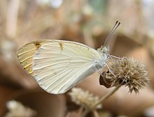 Plain Orange Tip Colotis eucharis Male UN Thane Maharashtra.JPG