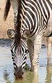 Plains Zebra (Equus quagga burchellii) drinking ... (31276987464).jpg