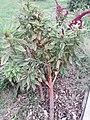 Plant Amaranto elefante rojo elephant amaranth.jpg