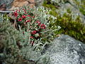 Plants flowers ice rocks lichens 209.jpg