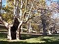 Platani (Platanus orientalis L.) nella Valle del Graziano a Villa Borghese, Roma.jpg