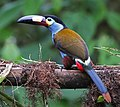 Plate-billed Mountain-Toucan 2 JCB.jpg