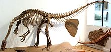Photograph of the mounted skeleton, seen from the front left. The animal stands on the hind limbs, with the body and tail horizontal. The neck curves down so that the snout is near the ground, as if the animal was feeding. The arms are flexed, with the hands well clear of the ground, and the palm directed medially.