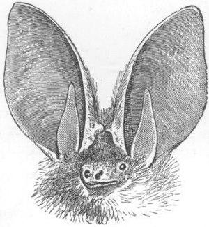 Brown long-eared bat - Image: Plecotus auritus ras