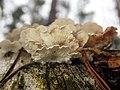 Plicaturopsis crispa 59385569.jpg
