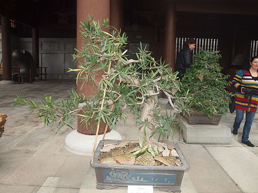 Poducarpus macrophyllus 2
