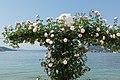 Poertschach Johannes-Brahms-Promenade Kletterrosen 06062015 4510.jpg