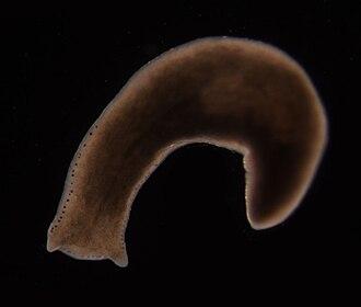 Planarian - Polycelis felina, a freshwater planarian