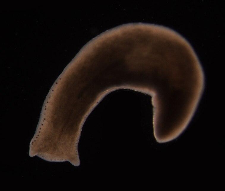 Polycelis felina
