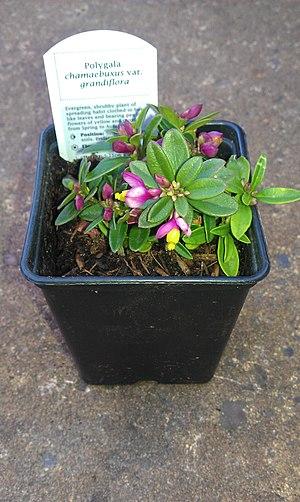 Polygala chamaebuxus - A pot of commercially sold Polygala chamaebuxus var. grandiflora