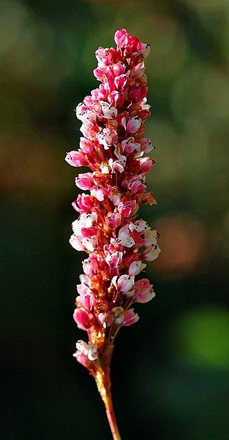 Polygonales - Image: Polygonum affine blossom (aka)