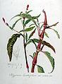 Polygonum lapathifolium var. nodosa — Flora Batava — Volume v8.jpg