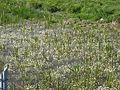 Pond with Ranunculus aquatilis.jpg