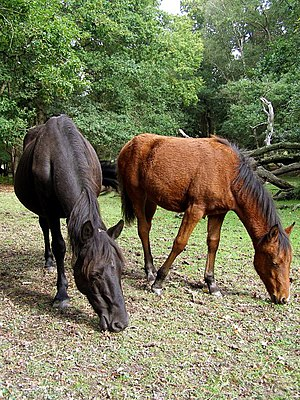 Ponies eating acorns on Parkhill Lawn, New Forest - geograph.org.uk - 251840.jpg