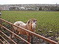 Pony at Thurso East - geograph.org.uk - 652459.jpg