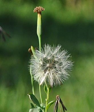 Porophyllum ruderale - Image: Porop ruder 100302 0244 ipb