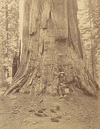"Eadweard Muybridge - Albumen silver print photograph of Muybridge in 1867 at base of the Ulysses S. Grant tree ""71 Feet in Circumference"" in the Mariposa Grove, Yosemite, by Carleton Watkins"