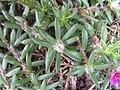 Portulaca pilosa leaf2 (17323360356).jpg