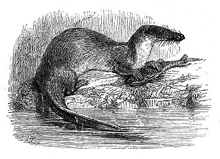 Giant otter shrew species of mammal