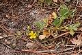 Potentilla subviscosa - Flickr - aspidoscelis (1).jpg