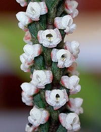 Prescottia oligantha - cropped.jpg