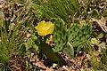 Prickly pear at Sugarloaf Hill, NY.jpg
