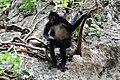 Primates - Ateles geoffroyi - 6.jpg