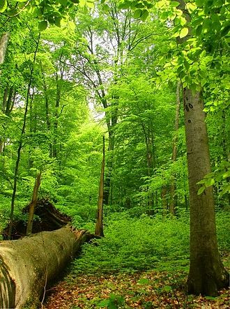 Primeval Beech Forests of the Carpathians and Other Regions of Europe - Image: Primeval forest Havešová
