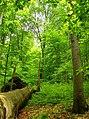 Primeval forest Havešová.jpg