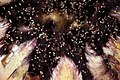 Protea neriifolia with mites 5Dsr 2913.jpg