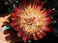 Protea pendula tonyrebelo inat10874384a.jpg