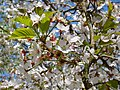 Prunus cerasifera. Guindal-cerezal (flores).jpg