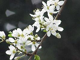 Bloemen van kerspruim