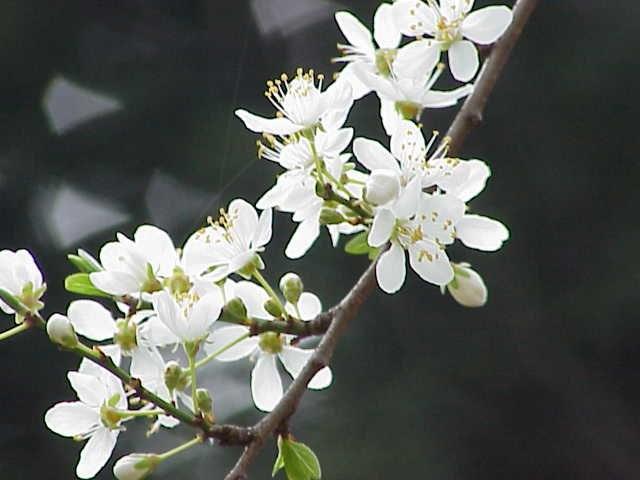 Prunus cerasifera1