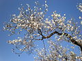 Prunus dulcis 3c.JPG