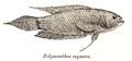 Pseudosphromenus cupanus Day.png