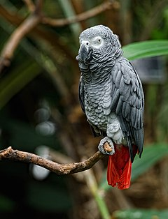 Psittacus erithacus -Bloedel Conservatory, Vancouver, Canada-8a.jpg