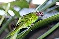 Psitteuteles goldiei -Bird Kingdom, Niagara Falls, Canada-8a.jpg