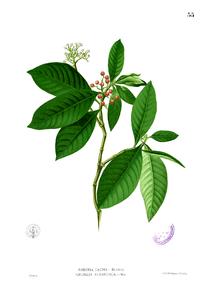 Psychotria tacpo Blanco1.55
