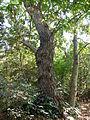 Pterocarya stenoptera-Jardin des plantes 03.JPG