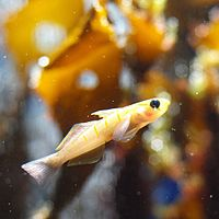 Pterogobius zonoleucus by OpenCage.jpg