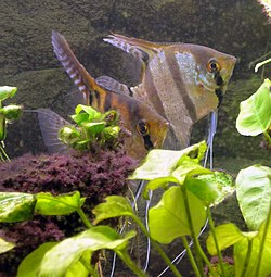 Pterophyllum scalare couple.jpg