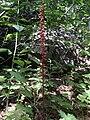 Pterospora andromedea 2.jpg