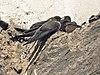 Ptyonoprogne rupestris -Europe-8.jpg