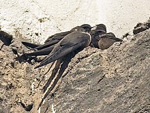 Mostly brownish martins perching on brownish rocky ground