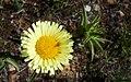 Pulgón en capítulo de flores (42006870520).jpg