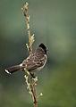 Pycnonotus cafer by Anis Shaikh 14.jpg