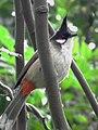 Pycnonotus jocosus (6793872316).jpg