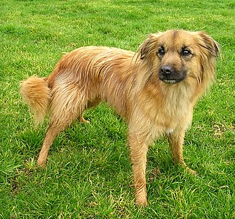Pyrenean Shepherd - Smooth-faced Pyrenean Shepherd