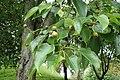 Pyrus pyrifolia kz02 wild.jpg
